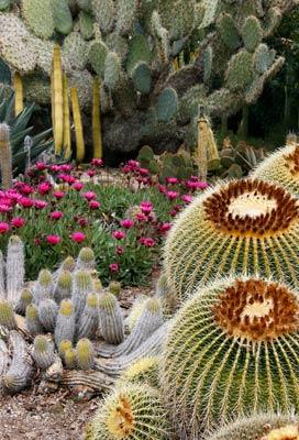 Cacti Galore