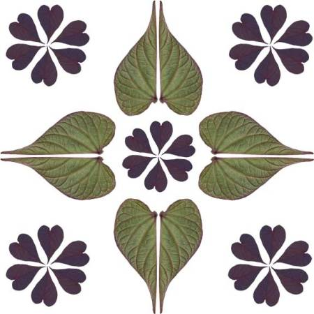 Sweet Potato vine leaf pattern