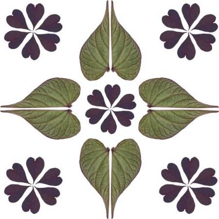 Sweet Potato vine leaf pattern