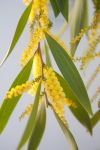 golden_wattle