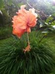 Peach_Hibiscus