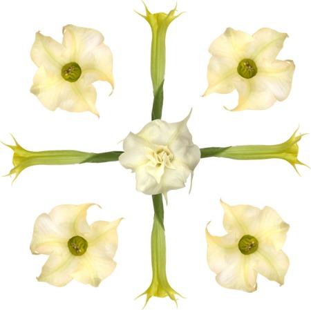 Brugmansia blossom design